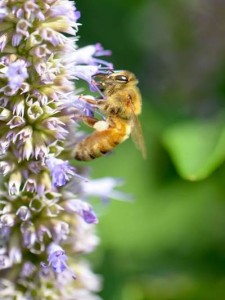 Photo by Karen Sabath, local beekeeper