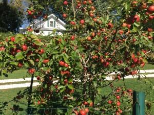 Brightwell heritage apple trees